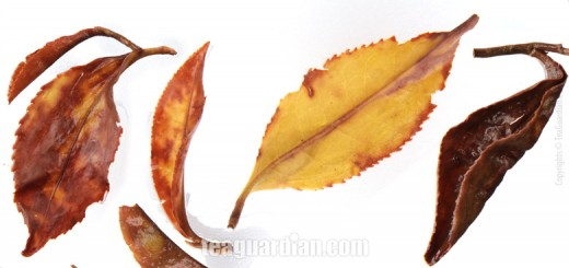 comparison study of infused leaves
