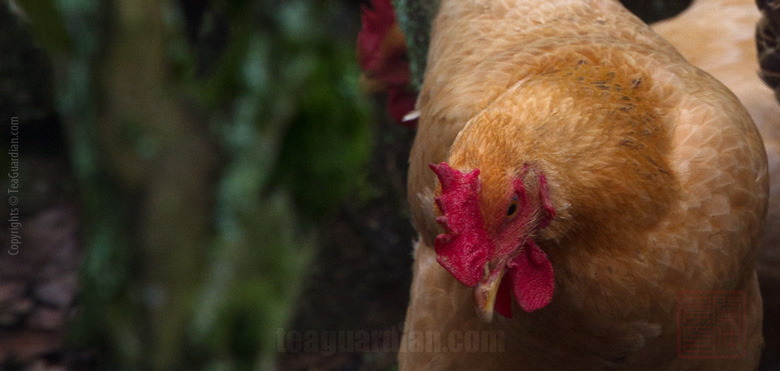 Chicken in the tea bushes or organic? Which one is more importan