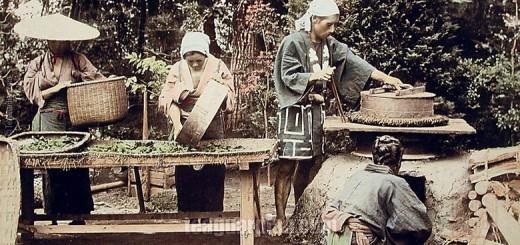 Japanese Green Tea Production