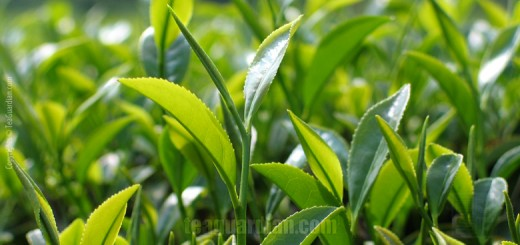Spring flush ( ie first flush ) yong leaves of Wuyi Rougui