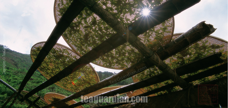 Sun-withering in oolong tea production