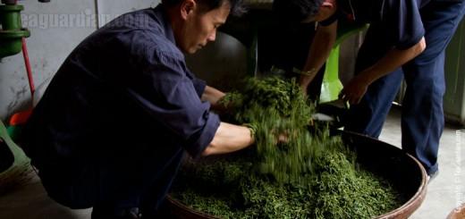 Master Chen loosening twsited tea leaves