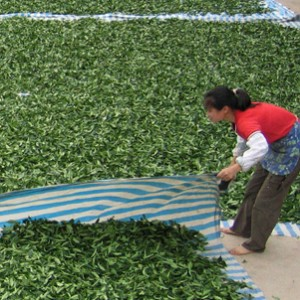 Sunning tea leaves in Yunnan