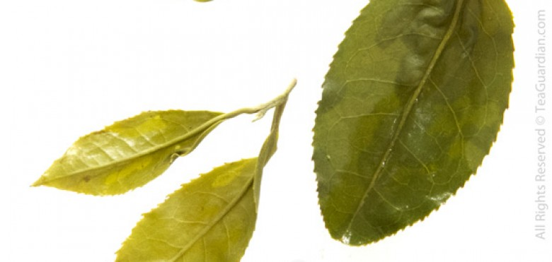 Infused leaves: Wulong green tea, Four Season | Cuiyu