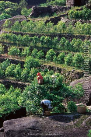 """Old producing tea tree and its """"off-springs"""""""