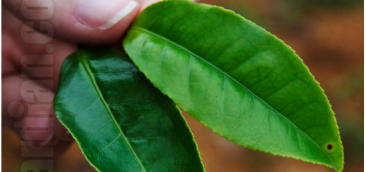 Two leaves each from a different tea cultivar