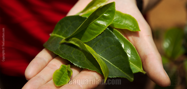 Plucked leaves, different sizes