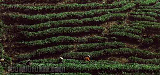 A tea garden on a hilltop in Wuyi Shan