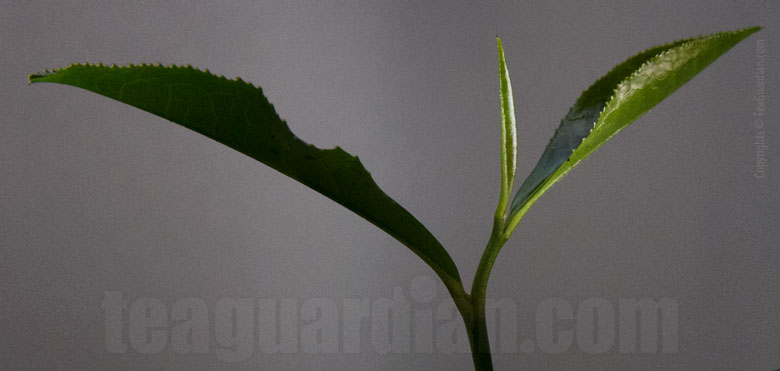 Leaf shoot of a tea plant