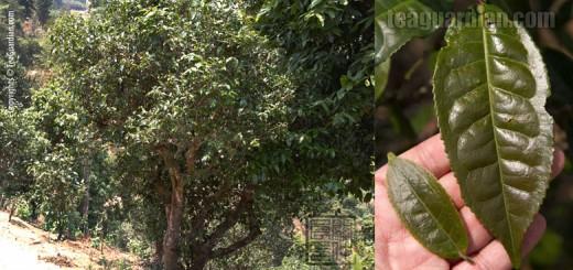 Xishuangbanna Red Leaf Tea Tree