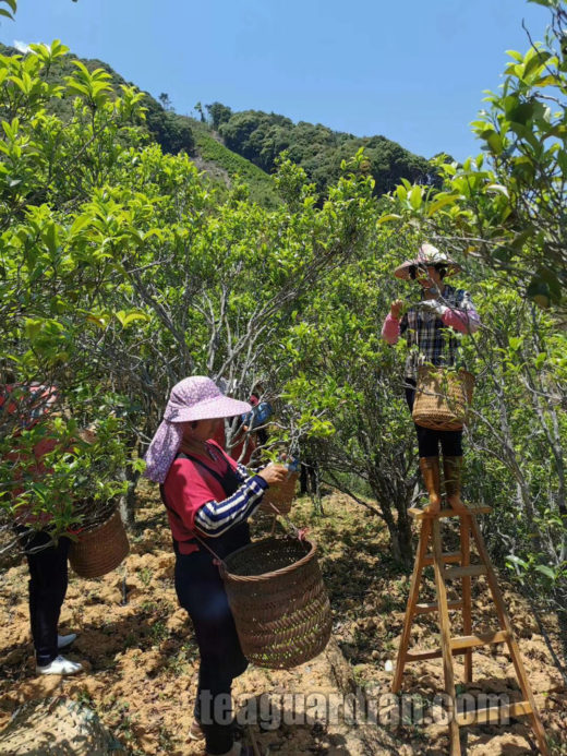 Women picking tea from large tea trees